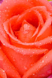 Old rose rose Royalty Free Stock Photo