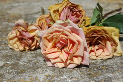Old roses. Withered pink wedding roses on a stone table stock images