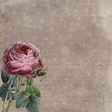 Old Roses and Lace. Old background with vintage lace and old fashioned rose Stock Photos