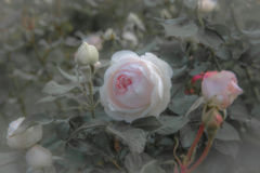 Old roses, retro style.Toned with color pastel filter and soft noise to get old camera effect. Soft focus and blurred royalty free stock images