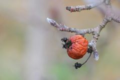 Old rotten apple hanging on a branch Royalty Free Stock Images