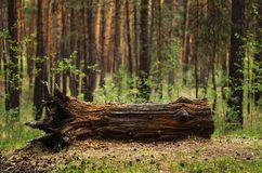 Old rotten log royalty free stock photography