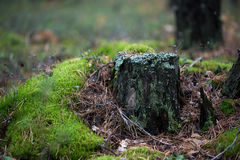 Old rotten stump Royalty Free Stock Image