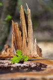 Old rotten stump. And tender sprout sapling Stock Photo