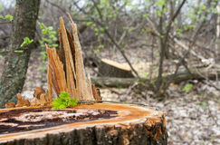 Old rotten stump. And tender sprout sapling Stock Photography