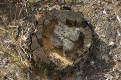 Old, rotten tree stump which ate the bugs. Royalty Free Stock Image