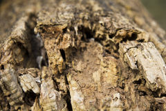 Old rotten tree trunk Royalty Free Stock Images