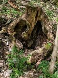 Old rotten tree which looks weird stock photography