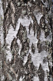 Old rough birch bark background Stock Images