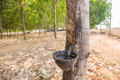 Old rubber tree farm at thailand as a source Stock Photo