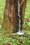 Old rubber tree Stock Photo