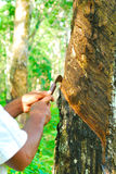 Old rubber tree , rubber and caoutchouc , rubber tapping Royalty Free Stock Image