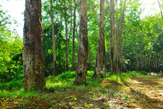 Old rubber tree , rubber and caoutchouc , rubber tapping Royalty Free Stock Images