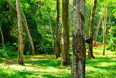 Old rubber tree , rubber and caoutchouc , rubber tapping Stock Image