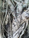 Old and rugged weeping fig or ficus tree bark. Closeup shot of old and rugged weeping fig or ficus tree bark stock photo