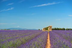 Old ruin in Lavender fields Royalty Free Stock Images