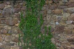 The old ruined stone wall and green ivy Stock Image