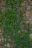 The old ruined stone wall and green ivy Stock Photography