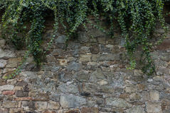 The old ruined stone wall and green ivy Royalty Free Stock Images