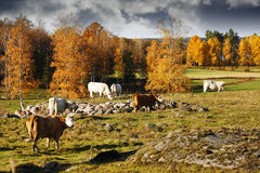 Old rural autumn landscape with grazing cattle Royalty Free Stock Image