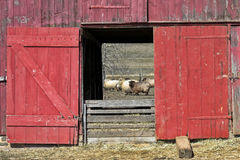 Old Red Wood Sheep Barn and Flock Royalty Free Stock Images