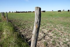 Old rustic barbed wire fence with wooden poles. Enclosing a pasture with a grazing herd of black cattle royalty free stock photo