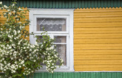 Old rustic window. Jasmine bush.large fragment of the old village window. jasmine bush. done manually royalty free stock images