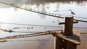 Old rusty bollard on the pier in the early morning. Gulls sit on the mooring ropes stock photo