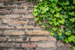 Old rusty brick wall texture with green ivy leaves as background Royalty Free Stock Image