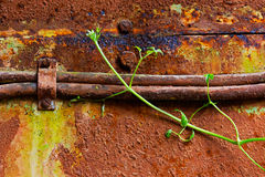Old rusty cable and young leaves of the ivy Stock Images