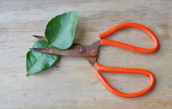 Old rusty scissor with red handle cutting lemon leaf on wooden board. Old rusty scissor with red handle cutting lemon leaf on the wooden board Royalty Free Stock Photo
