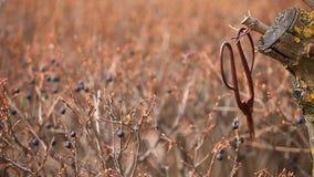 Old rusty scissors spring garden wild berries wind hd footage nobody