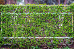 Old rusty wire mesh fence green bush. Old rusty fence of metal mesh, covered with green shrubs, creating a soft background of trees Royalty Free Stock Photography