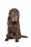 Old sad chocolate Labrador Stock Photo