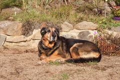 Old sad dog lying in the garden. Sad look. Rest in old age. Sick dog. Royalty Free Stock Photos