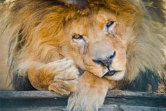 Old sad lion sitting in `prison` stock photography