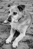 Old sad mix breed dog Stock Photo