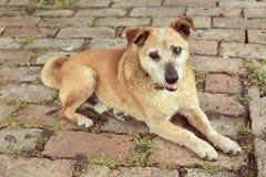 Old sad mix breed dog vintage film look Stock Image