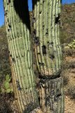 Old saguaro cactus trunk with damage to it`s surface. In the Arizona Sonoran Desert royalty free stock photo