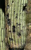 Old saguaro cactus trunk with damage to it`s surface. In the Arizona Sonoran Desert stock photo