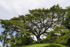 Old Saman Tree Stock Photo
