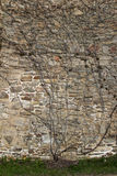 Old sandstone wall with a creeper growing on it. Old sandstone wall with natural rough rocks with a leafless creeper growing on it in a background texture and Royalty Free Stock Photo