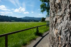 Old scaly bark tree at a hiking path with alpine meadow. In Bavaria Allgäu Royalty Free Stock Photo