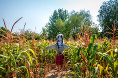 Old scarecrow in a cornfield, made form straw Royalty Free Stock Image