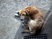 Old scavanger dog came to visit Royalty Free Stock Image