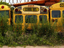 Old School Buses with Weeds. These school buses are being used for parts, not taking kids to school Royalty Free Stock Photography