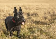 Old Scottish terrier dog in Meadow. With copy space stock image