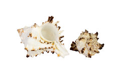 Old Sea Shell isolated on white background Royalty Free Stock Photos