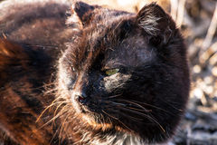 Old seasoned black cat Royalty Free Stock Images