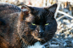 Old seasoned black cat Royalty Free Stock Photo